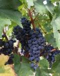 Cabernet Sauvignon grapes at LacertaWinery