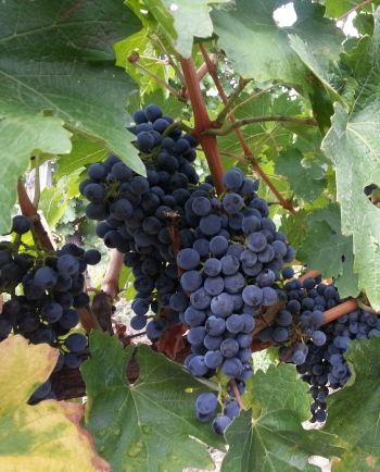 Cabernet Sauvignon grapes at Lacerta Winery