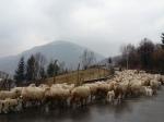Sheep crossing road in Carpathian Mountains, Bran-RucarPass