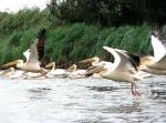 Pelicans in the DanubeDelta