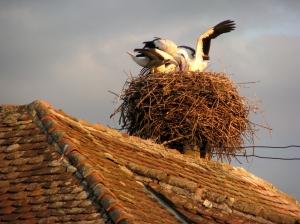 Storks Transylvania