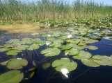 Waterlilies in the Danube Delta