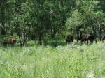 Wild Horses in the DanubeDelta