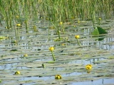 Yellow water lilies in May, Danube Delta
