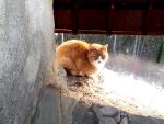 Cat on the walls of RasnovCitadel