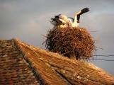 Storcks in a Transylvanian village