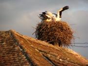 Storcks in the Village of Cârța, Transylvania