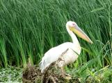 Pelican Danube Delta