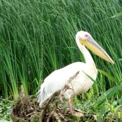 The pelican, symbol of the Danube Delta